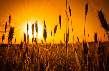 A lot of ears of corn silhouettes over awe fantastic sun light. Rural outdoors image in warm colors.
